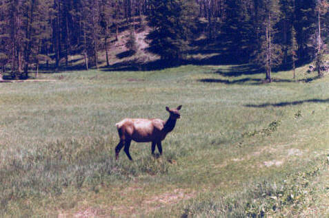 Elk were seen everywhere.